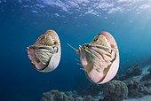 Palau Nautiluses (Nautilus belauensis), Palau, Oceania