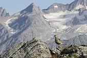 Eurasian Dotterel (Charadrius morinellus) migrating in the Alps, Valais, Switzerland