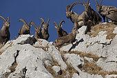 Ibex (Capra ibex) Female in front of males in rut, Valais Alps, Switzerland