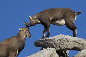 Ibex (Capra ibex) females, Valais Alps, Switzerland