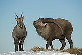 Ibex (Capra ibex) male and female during rutting, Valais Alps, Switzerland