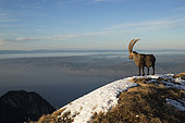 Ibex (Capra ibex) male at summit, Valais Alps, Switzerland