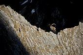 Ibex (Capra ibex) male on rocky ridge, Valais Alps, Switzerland