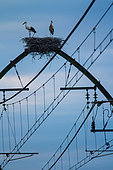 White storks (ciconia ciconia) having installed their nests on the pylons of a railway in the Landes, Aquitaine, France