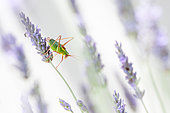 Bushcricket (Ephippiger ephippiger) male on lavender in summer, Haute-Savoie, France