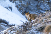 Red fox (Vulpes vulpes) in an alpine slope during a january morning, 1800 meters altitude, Haute-Savoie, Alps, France