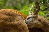Young male European Roe deer (Capreolus capreolus) making his toilet in forest, Alps, France