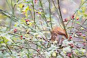 Red squirrel (Sciurus vulgaris) eating in a wild roses bush (Rosa sp), Göteborg, Sweden