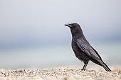 Carrion crow (Corvus corone) on a beach of the lake of Geneva, Lausanne, Switzerland