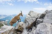 Alpine Ibex (Capra ibex) female in the rocks at the top of « la Tournette », with Bornes mountains, Haute-Savoie, Alpes, France