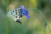 Spider carrying its prey on an apollos's (Parnassius apollo) wing, Alps, France.