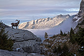 Alpine ibex (capra ibex) in his montane environment at the sunset, Haute-Savoie, Alps, France