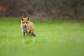 Red fox (Vulpes vulpes) in a field in april, under the flakes, Haute-Savoie, France