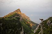 Alpine Ibex (Capra ibex) Female in front of Sous-Dine mountain at sunrise, Bornes mountains, Haute-Savoie, Alps, France