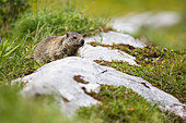Young Alpine marmot (marmota marmota) in a humid montane grassland in jully, Haute-Savoie, Alps, France