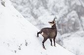 Alpine Chamois (Ruprica ruprica) on a snowy slope in Jura mountains, Switzerland