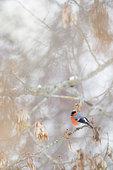 Eurasian bullfinch (Pyrrhula pyrrhula) in a tree in winter, Haute-Savoie, France