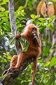 Maroon leaf monkey (presbytis rubincunda) eating leaves in the trees, Tawau hills park, Sabah, Malaysia