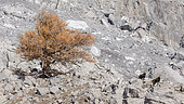 Alpine Chamois (Ruprica ruprica) and Larch in rocks in october, Valais, Switzerland.