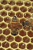 Boatmen's beekeepers of the Parana Delta. Italian bee (Apis mellifera ligustica) on alveoli filled with honey, Argentina