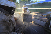 Boatmen's beekeepers of the Parana Delta. Under general attack by the bee, the unloading and setting up of the hives has to be done very quickly. En masse, the bees have left the hives, left open because of the heat. Argentina