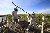 Boatmen's beekeepers of the Parana Delta. For navigational reasons, the migration takes place under a merciless sun. Because of the bee's aggressiveness, the men have to wear their protective suits throughout the transport. Argentina