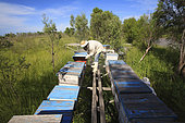 Boatmen's beekeepers of the Parana Delta. All of Carlos' hives are set up on piles. Despite this precaution, he lost three quarters of his stock, nearly 800 hives, when in 2006 the water rose four meters in a few hours.
