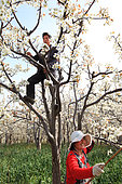 Hand pollination of pears orchards in Hanyuan, the Pear capital, Sichuan, China. In the orchards, the couples help each other to pollinate the trees. This intensive farming of pears requires more than 10 insecticide treatments per year.