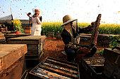 Miel jaune - Apiculture et tourisme de masse sur les champs de colza à Luoping, Yunnan. Monsieur Huang s'est installé dans les champs de colza. Il ouvre une ruche pour récolter chaque jour du miel pour ses meilleurs clients du moment, les touristes. Chine