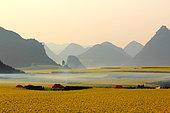 Miel jaune - Apiculture et tourisme de masse sur les champs de colza à Luoping, Yunnan. En février et mars, le village de Jinji Lin (aux collines du coq d'or) est surement le lieu le plus prisé par les touristes chinois pour venir observer le panorama de champs de colza à perte d'horizon. Des apiculteurs et des marchands ont installé leur campement pour un mois et demi sur le chemin qui mène aux collines pour observer le panorama. Chine