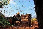 Miel jaune - Apiculture et tourisme de masse sur les champs de colza à Luoping, Yunnan. Des milliers d'abeilles volent en tout sens. Dans les années 90, les apiculteurs chinois ont abandonné les abeilles chinoises Cerana pour importer des abeilles européennes de souche italienne pour ses rendements exceptionnels et sa douceur. Chine