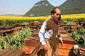 Miel jaune - Apiculture et tourisme de masse sur les champs de colza à Luoping, Yunnan. Monsieur Yang Chuan dans le rucher pendant son spectacle réalisé pour promouvoir les apiculteurs installés à Jinji Lin pour le programme de la chaine CCTV 4 de la télévision nationale. Chine