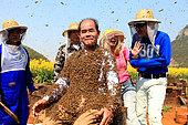 Miel jaune - Apiculture et tourisme de masse sur les champs de colza à Luoping, Yunnan. Recouvert d'abeilles, Monsieur Yang Chuan essaye de sourire à la foule assemblée pendant que les présentateurs de CCTV4 continuent le programme avec beaucoup de courage. Chine
