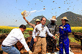 Honey Yellow Peril - Beekeeping and mass tourism on rapeseed field in Luoping, Yunnan. Like the installation of the swarms, the end of the show requires good coordination. The queens are reinstalled in their hives and the bees chased with a small brush China