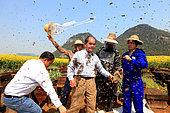 Miel jaune - Apiculture et tourisme de masse sur les champs de colza à Luoping, Yunnan. Comme l'installation des essaims, la fin du spectacle demande une bonne coordination. Les reines sont réinstallées dans leurs ruches et les abeilles chassées avec une balayette. Chine