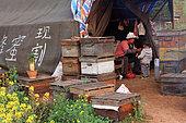Miel jaune - Apiculture et tourisme de masse sur les champs de colza à Luoping, Yunnan. Scène de vie, les apiculteurs professionnels chinois vivent pendant près de huit mois par an sous la tente près de leurs ruches. Ils transhument leurs ruches de floraison en floraison sur des camions loués. Ils travaillent en famille et produisent également de la gelée royale, du pollen de façon qu'ils vendent aux grossistes. Chine