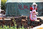 Miel jaune - Apiculture et tourisme de masse sur les champs de colza à Luoping, Yunnan. Une apicultrice travaille sur ses ruches en pleine journée entourée d'une multitude d'abeilles en vol. Chine