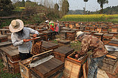 Honey Yellow Peril - Beekeeping and mass tourism on rapeseed field in Luoping, Yunnan. On a apiary in China China