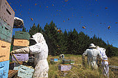 Maori Manuka Honey. During the harvest, thousands of bees of the Italian subspecies fly this way and that around the beekeepers. The guardian bees' stings can do nothing against this two-legged predator who, protected by his overalls, doesn't fear their attacks.