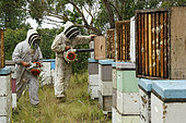On the roads of perpetual honey flow, Honey harvest at Ben Brown's apiary near Newcastle on the east coast. NSW, Australia