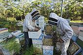 Sur les routes de la miellée perpétuelle, Terry Brown, 61 ans a commencé à l'âge de seize ans l'apiculture comme un passe-temps. NSW, Australie