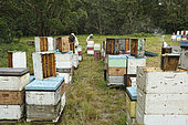 On the roads of perpetual honey flow, 19 The harvest at Ben Brown's apiary. NSW, Australia