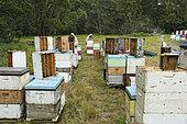 Sur les routes de la miellée perpétuelle, Récolte sur le rucher de Ben Brown. NSW, Australie