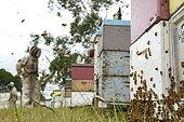 Sur les routes de la miellée perpétuelle, Récolte de miel sur le rucher de Ben Brown près de Newcastle sur la côte Est. NSW, Australie