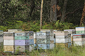 Sur les routes de la miellée perpétuelle, Un rucher à l'ombre d'eucalyptus, NSW, Australie
