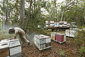On the roads of perpetual honey flow, Christopher Brown, 41 years old, at an apiary in a forest of eucalyptus. NSW, Australia