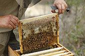 Sur les routes de la miellée perpétuelle, Un cadre de couvain avec du miel d'un cadre de corps de ruche warré. NSW, Australie