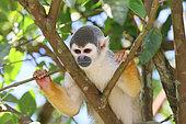 Common squirrel monkey (Saimiri sciureus) Adult perched observing, East Ecuador
