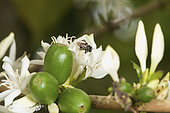 A trigona scaptotrigona bee on a coffee flower. The breeding of this bee brings the cooperative an undeniable extra in terms of the pollination of the coffee plants and therefore the quality of the coffee beans. Mexico stingless honeybees and equitable trade