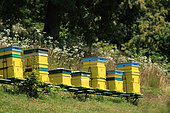 The comings and goings of the bees at the entrance to their hive is constant on this beautiful summer's day. Romanian traveling beekeepers, Romania